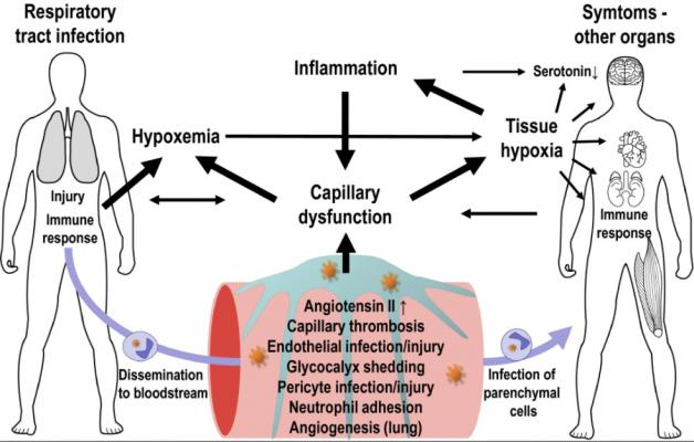 Interactions between capillary function, inflammation, hypoxia, and neurotransmission. The expression of ACE2 and other SARS‐CoV‐2 entry factors on parenchymal cells and observations of infected cells in biopsy material hold important clues to understand COVID‐19‐related organ damage. COVID-19 Blood Vessel Damage May Cause Brain Fog and Other Long-hauler Symptoms