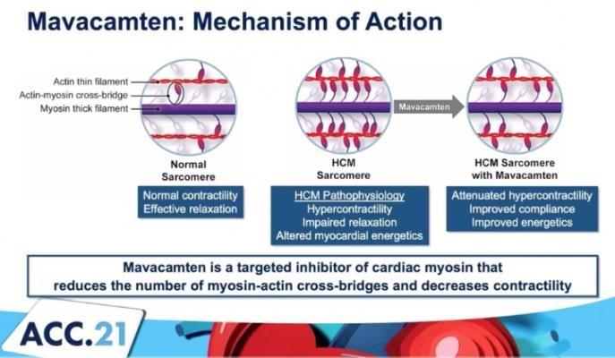 The mechanism of action for mavacamten, a cardiac myosin inhibitor to treat obstructive hypertrophic cardiomyopathy (oHCM). EXPLORER-HCM trial #ACC21 #ACC2021