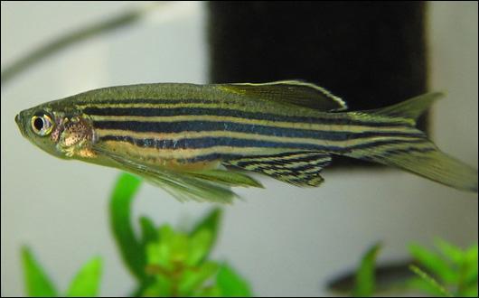 heart regeneration, zebrafish, epicardium, Duke, Poss